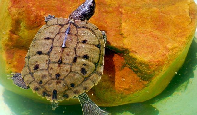 Una tartaruga nella vagina accade nelle Canarie